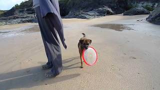 Border Terrier Steals The Frisbee...