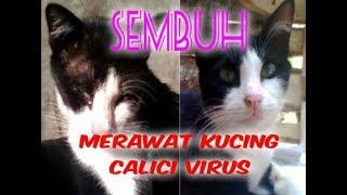 Merawat dan Mengobati kucing calici virus hingga sembuh