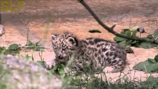 Snow leopard kittens  Котята снежного барса