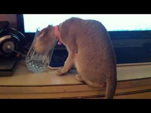 Lily Singapura Kitten - Steals Water Glass & Gets Her Head Stuck! (Smallest Cat Breed!)