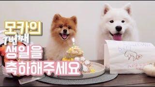 Celebrating Mocha's 7th Birthday (feat. samoyed) l 모카의 7번째 생일파티 함께 해 주세요!