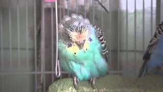 Worst Budgie/Parakeet Molt Of 2012