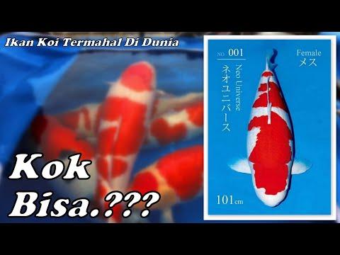 IKAN KOI termahal didunia seharga 27 MILYAR RUPIAH. kok bisa.?? / New koi fish record in the world