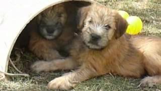 Irish Soft Coated Wheaten Terrier  1