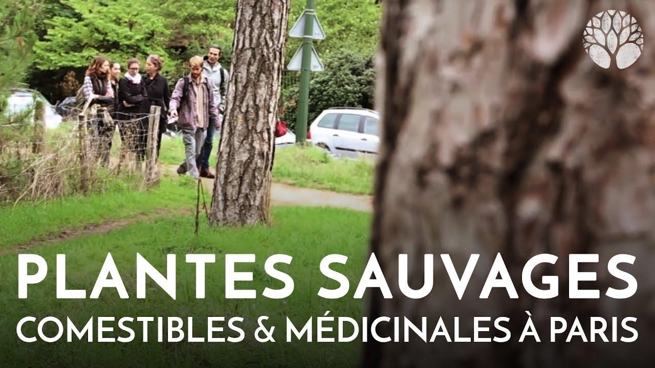 Plantes sauvages comestibles et médicinales à Paris