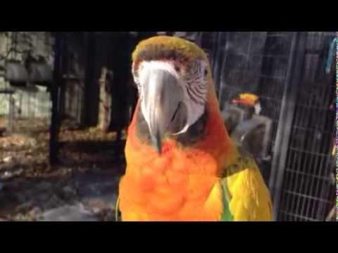 Hybrid Macaw   Camelot Macaw