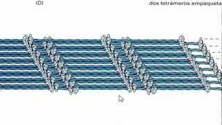 Ayudantía BioCel: El citoesqueleto 3/3 (Filamentos intermedios)