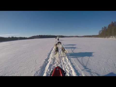 Husky dog sleigh ride in swedish lapland