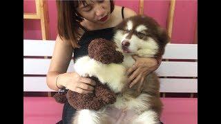 Mật ngố thích chơi gấu bông , Puppies love to play teddy bears like babies | Mật Pet Family