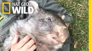 George the Wombat Begins New Life in the Wild Nat Geo Wild