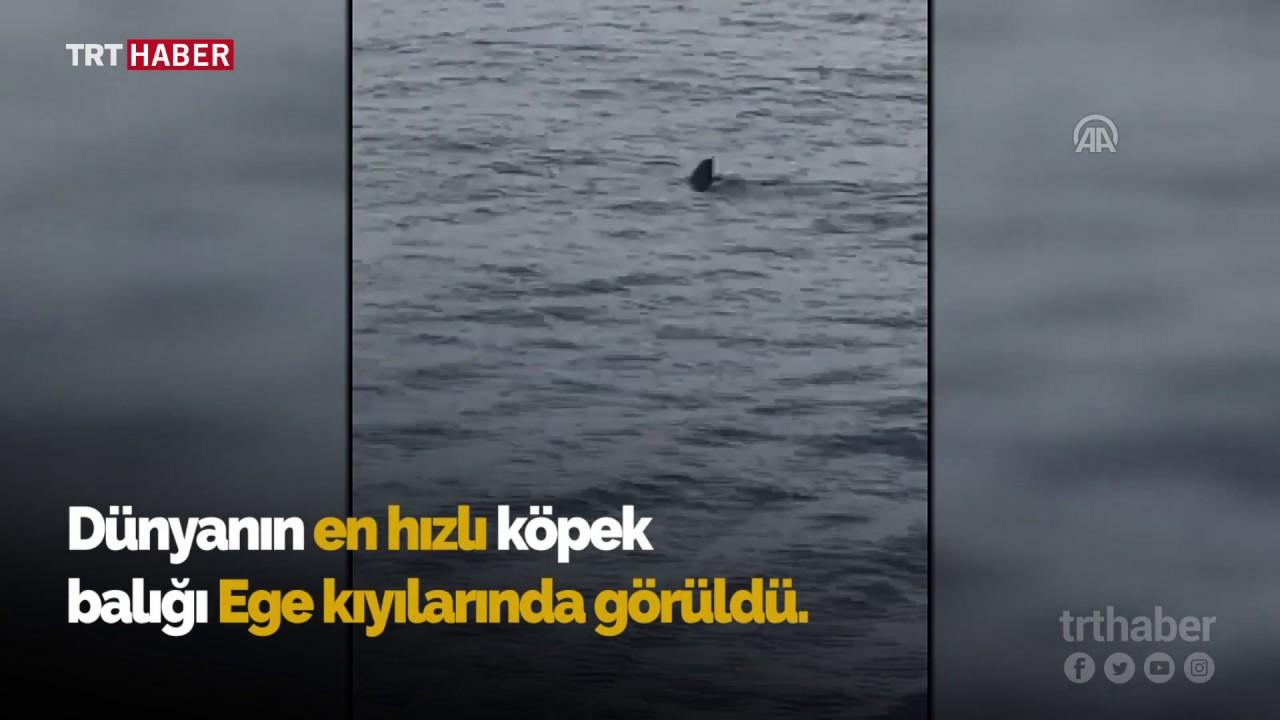 Nesli tükenmekte olan köpekbalığı Muğla'da görüntülendi