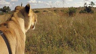 the return of the porcupine askmeg   the lion whisperer