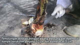 Video TEKNIK KULTUR JARINGAN PISANG download MP3, 3GP, MP4, WEBM, AVI, FLV September 2018
