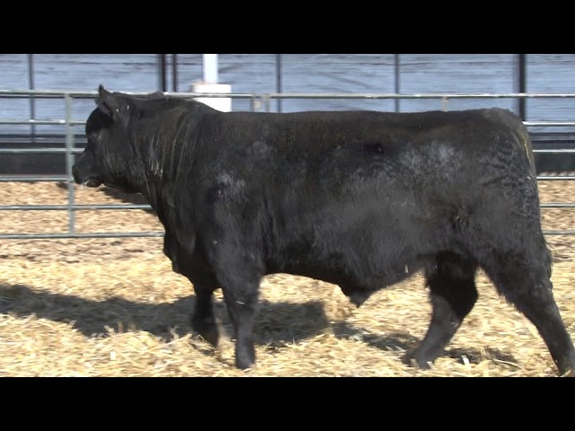 Schiefelbein Angus Farms Lot 251