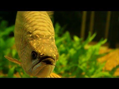 Dragonfish - Pearl Arowana