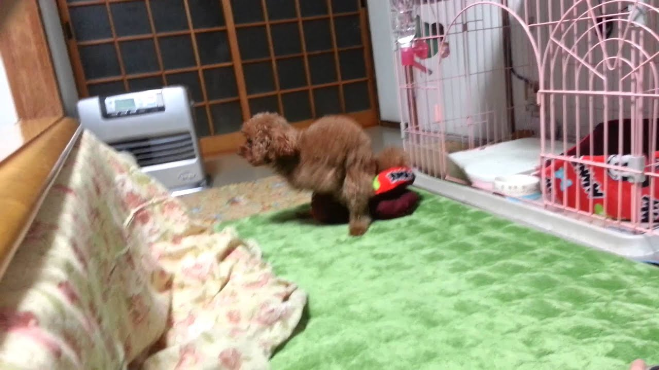 Toy Poodle Humping Pillow - Youtube-9226
