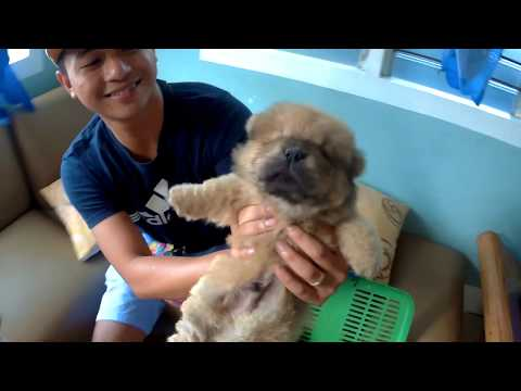 Chow Chow Puppy | Delivery | First Day