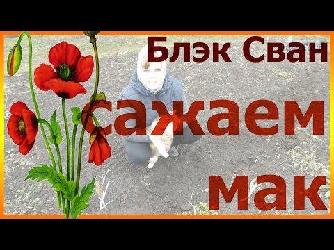 Как посадить мак восточный блэк сван Как сеять мак Мак выращивание и уход