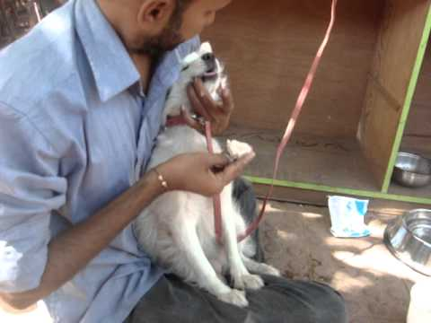 dog hostel in pune pet care takerpersonal care at royal pet resort a dog boarding