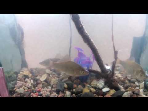 Караси пойманные на рыбалке плавают теперь в аквариуме. Речные рыбы в аквариуме
