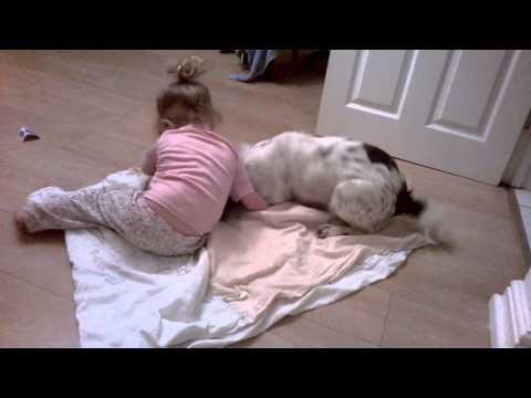 Springer spaniel plays amazingly with our toddler