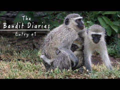 Wild Vervet Monkeys - Peaceful Nature Documentary HD - The