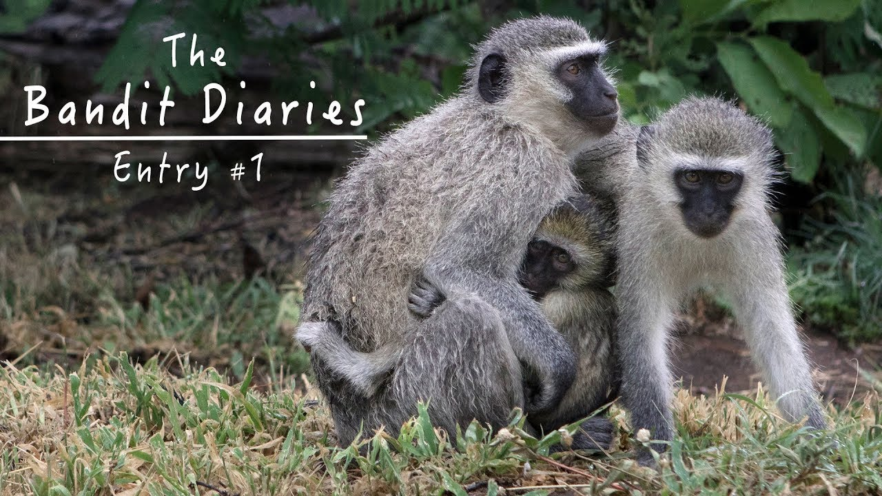 Wild Vervet Monkeys - Peaceful Nature Documentary HD - The Bandit Diaries -  Entry #1