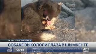 Неизвестные выкололи глаза собаке в Шымкенте
