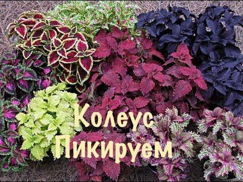 Колеус. Выращивание из семян. Как вырастить Колеус в домашних условиях.3 ПИКИРУЕМ КОЛЕУС.