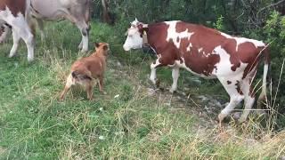 Video Cani da pastore: come radunare una mandria di mucche  in 4 minuti download MP3, 3GP, MP4, WEBM, AVI, FLV Agustus 2018