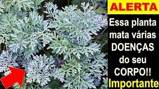 Essa planta é capaz de salvar sua saúde – Fígado, AVC, Antibiótica, Dermatite e mais