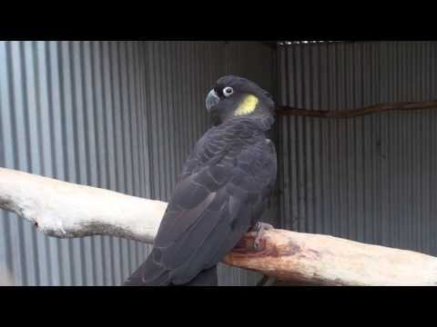 Yellow-tailed Black cockatoo | BirdSpyAus