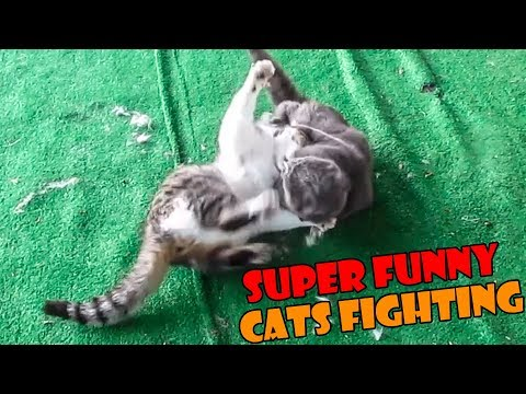 FUNNIEST CATS FIGHTING EVER - TRY TO NOT LAUGH WATCHING THIS