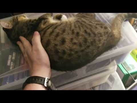 Leopard spotted tabby