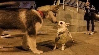 ПАРЕНЬ ПРОДАЁТ РЕБЁНКА! схватка chihuahua - чихуахуа и против щенок маламут