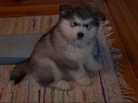 8 Weeks Old Malamute Puppy Iida
