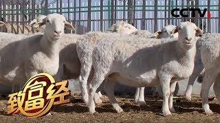 《致富经》 20200120 陕北大厨的羊财富| CCTV农业