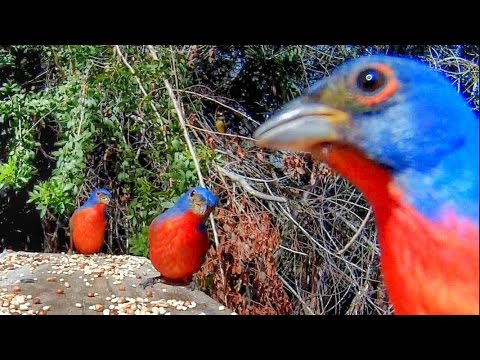 Painted Buntings - Nature's Bird Jewels