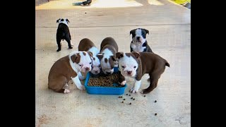 Boston Terrier Puppies are 6 Weeks old!!