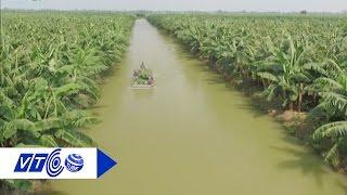 'Lạc đường' giữa vườn chuối triệu đô ở miền Tây | VTC