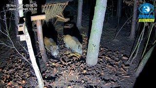 Dwa młode dziki 🐗 🐗 w karmisku w lesie na Podkarpaciu