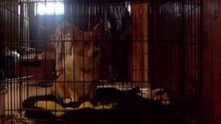 Ein Corgi Howling