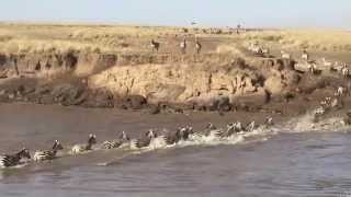 Wildebeest Migration crosses the Mara River