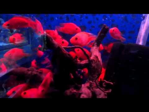 Red Parrot fish , Beautiful combination. pet aquarium .