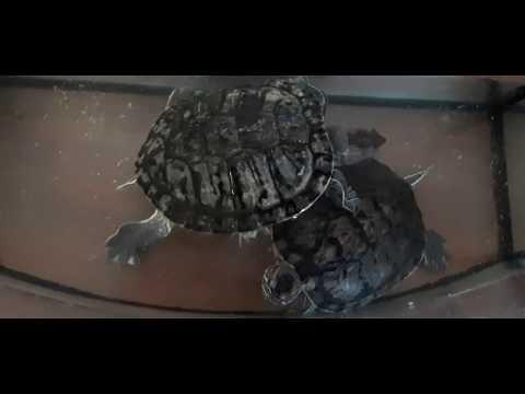 Наши черепахи ●обедают в своей столовой●Amazon turtles 🐢
