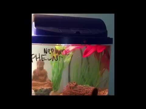 Betta Fish Updates! || Name Reveals