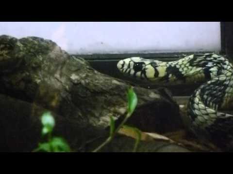 serpiente toche Tigra cazadora tigrera nidadora mica Chicken snake
