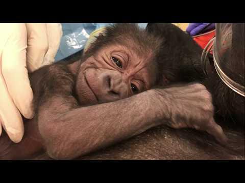 Philadelphia Zoo Welcomes Gorilla Baby