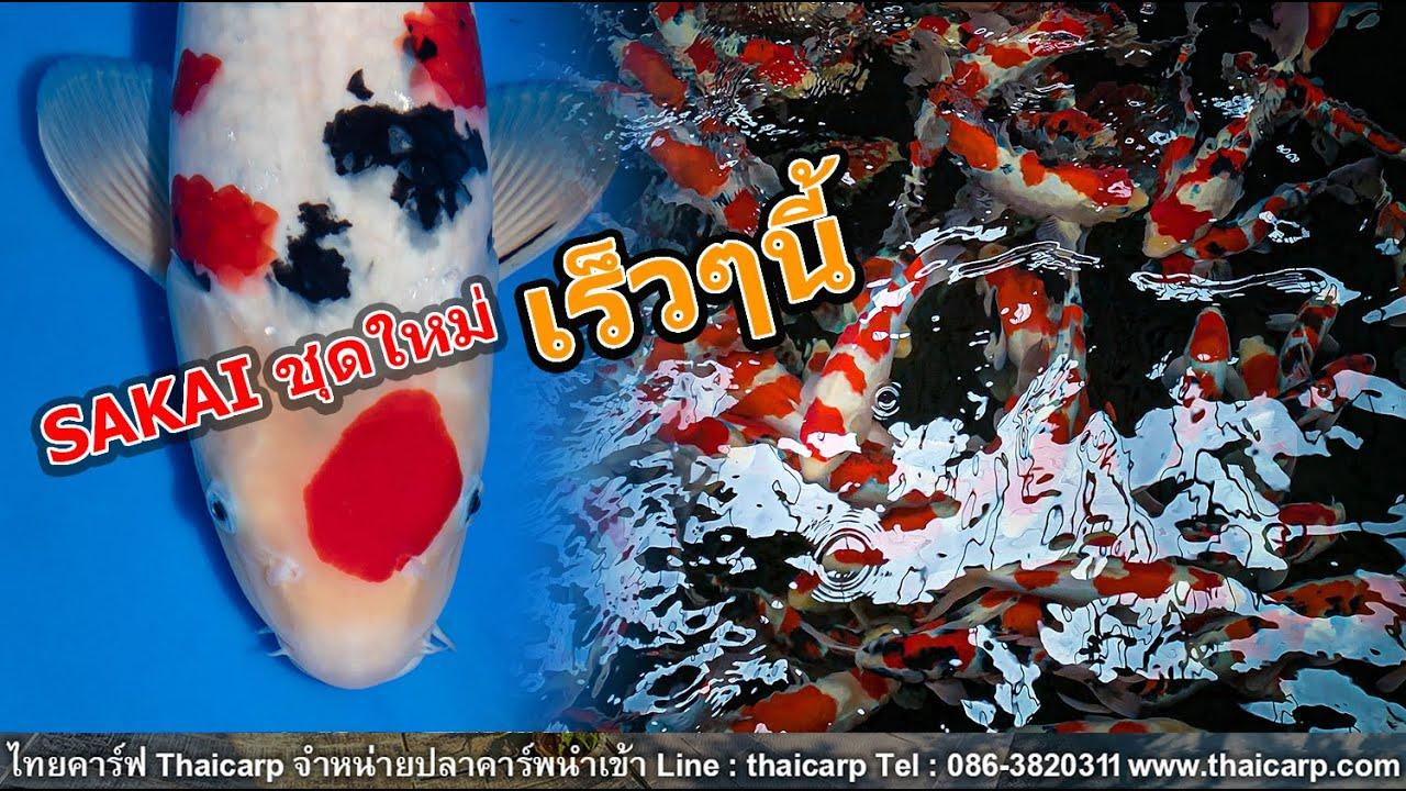 ปลานำเข้าจาก Sakai ชุดใหม่เข้าร้านไทยคาร์ฟเร็วๆนี้