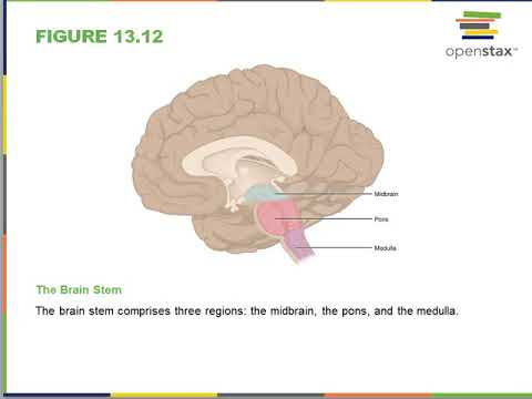 Anatomy of the Nervous System- Ch 13 Openstax